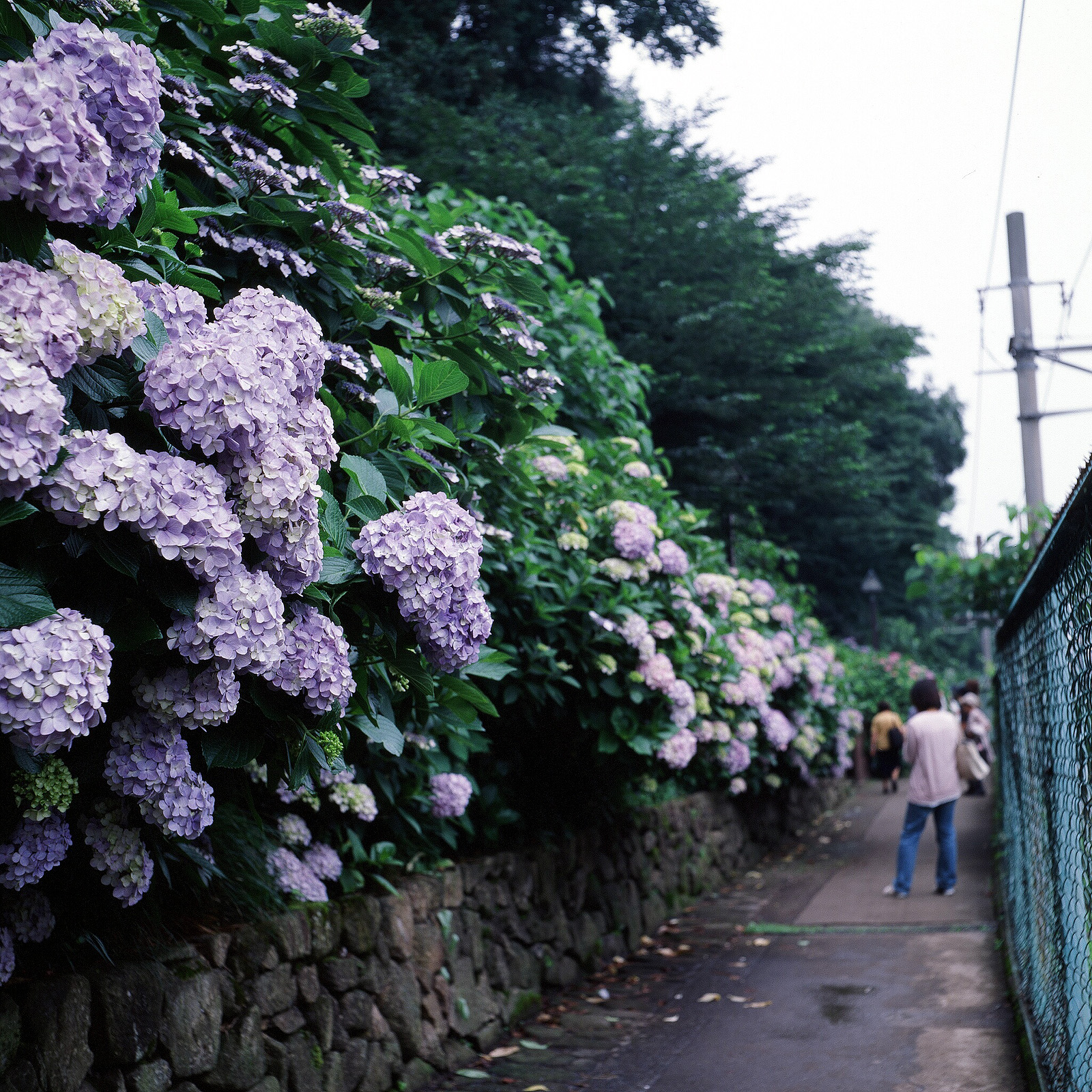 023_5 飛鳥山公園下、線路際の紫陽花(03.30.09)