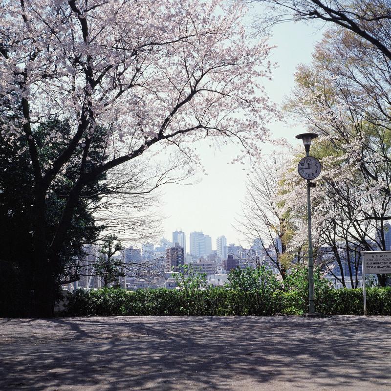 20030406 目白台1丁目遊び場の桜(03.16.01)
