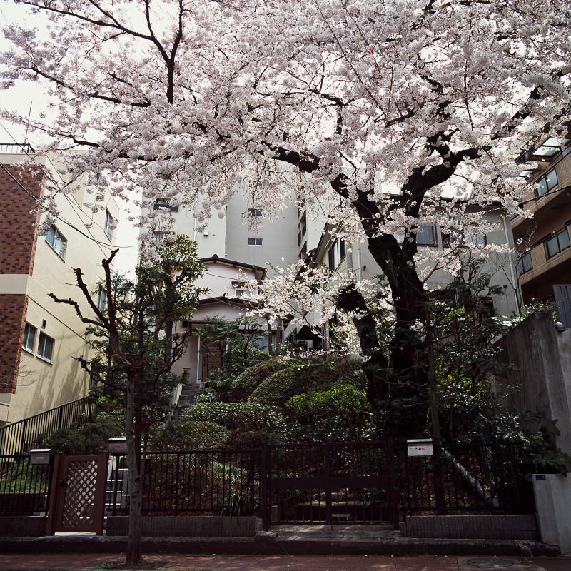 005 H邸の桜 渋谷区松濤1-26-16 20110407(11.16.23)