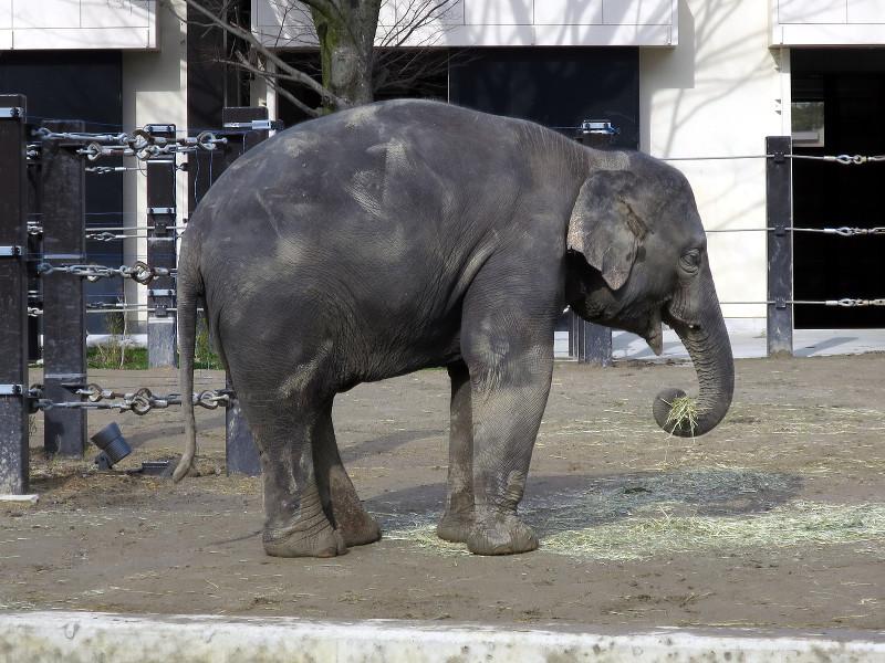 10 京都市動物園のゾウ・冬美トンクン(2016_0121_131208)